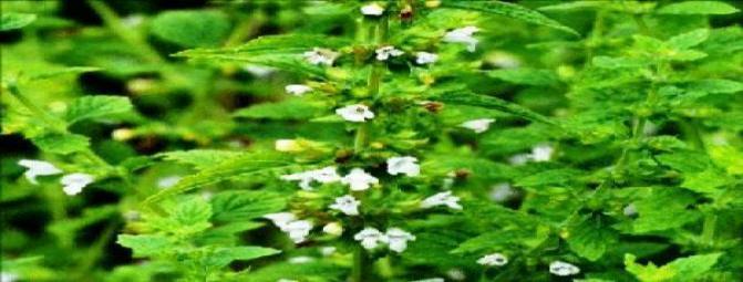گیاه بادرنجبویه (سرده)